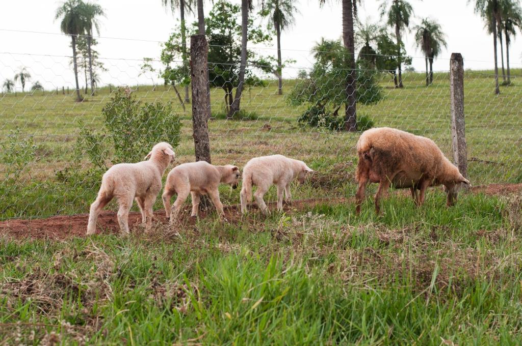 Ovinos na Fazenda