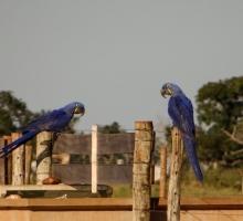 Casal de Arara Azul é encontrado na Fazenda Cabeceira do Prata